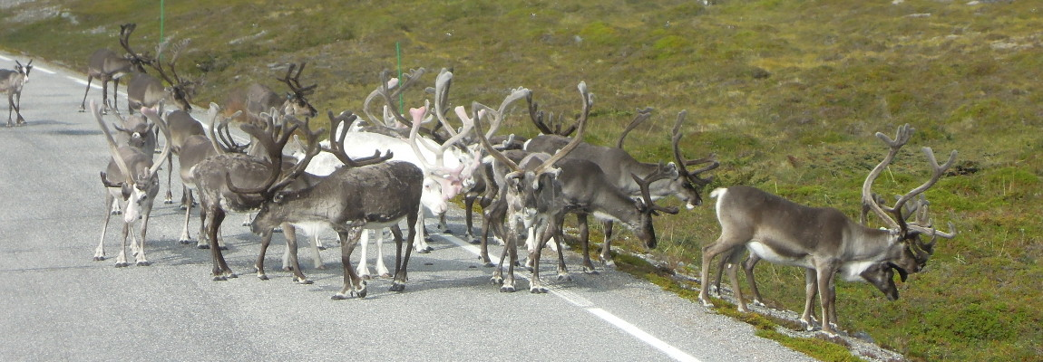 Traveling Tuesday – Reindeer Roundup