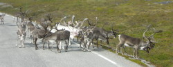 Reindeer_Header